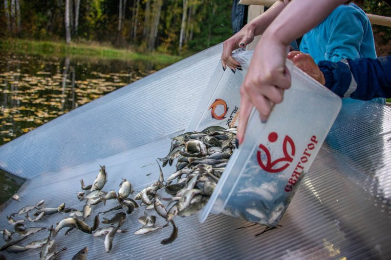 New settlers will appear in Lake Svetloye and the Lozva River - young carp and sterlet
